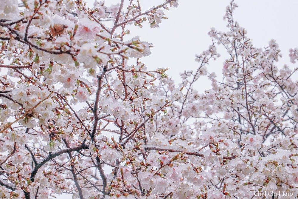 หิมะตกวันดอกซากุระบาน