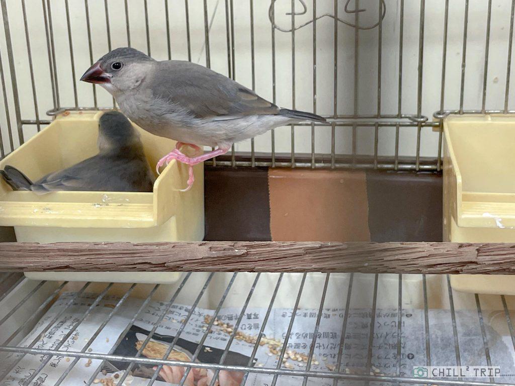 นกกระจอกชวา Sakura Java sparrow