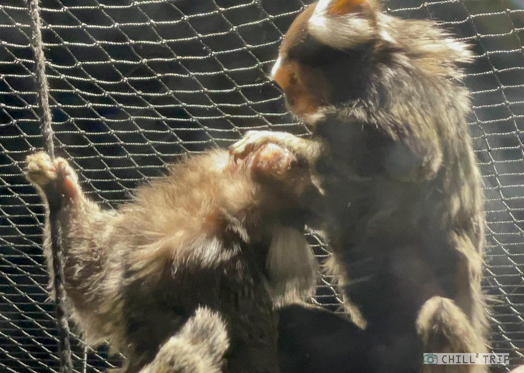 ลิงมาโมเสท Marmoset