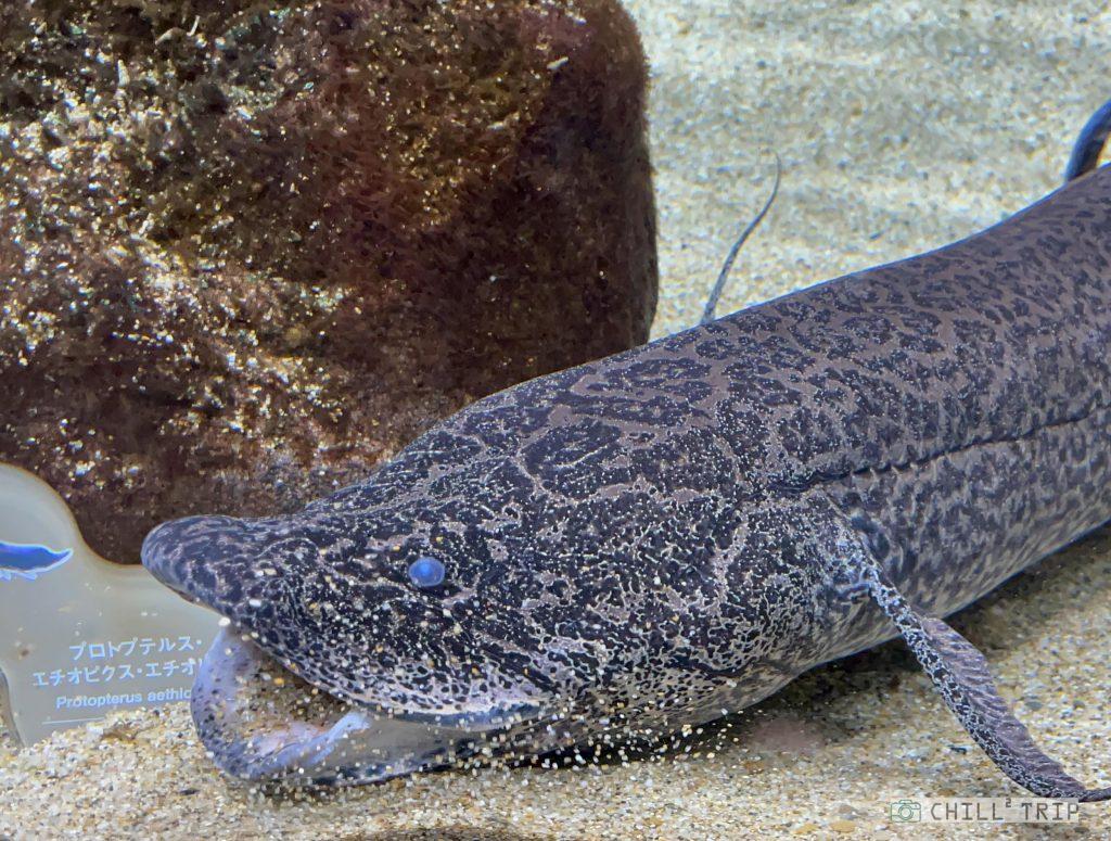 ปลาปอด lungfish