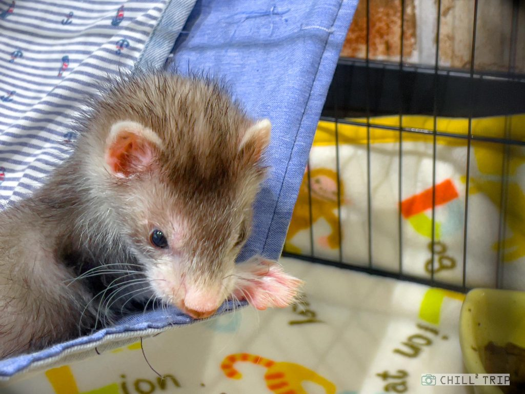 เฟอเรท (Ferret)
