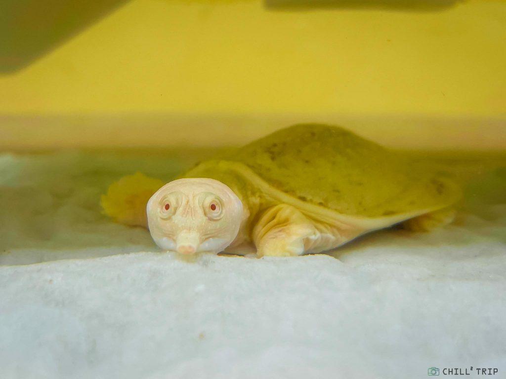 ตะพาบน้ำเผือก Albino Chinese Softshelled Turtle