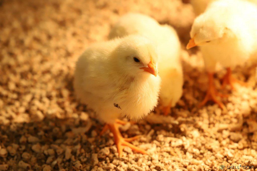 เลี้ยงลูกไก่ เทรนด์ใหม่ของญี่ปุ่น