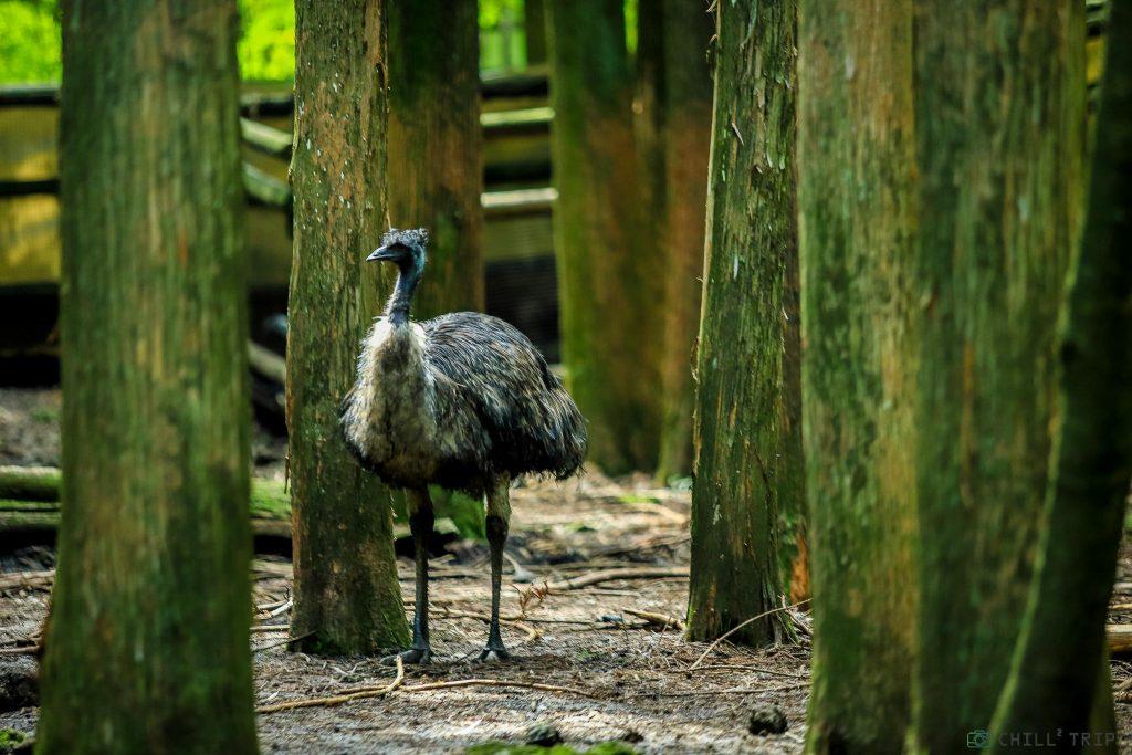 นกอีมู (Emu)